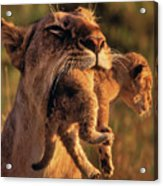 Lion 32 Acrylic Print