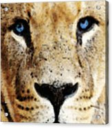 Lion Art - Blue Eyed King Acrylic Print by Sharon Cummings