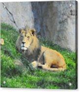 Lion At Leisure Acrylic Print