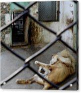 Lion At Zoo Acrylic Print