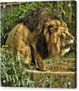 Lion Calling Females Acrylic Print