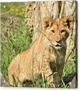 Lion Cub 2 Acrylic Print