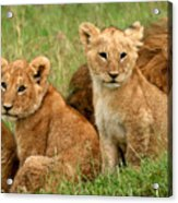 Lion Cubs - Too Cute Acrylic Print by Nancy D Hall