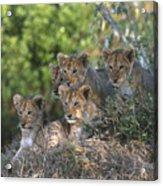 Lion Cubs Awaiting Mom Acrylic Print