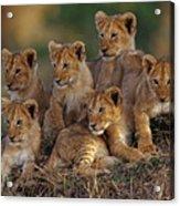 Lion Cubs Acrylic Print