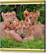 Lion Cubs. L A With Decorative Ornate Printed Frame. Acrylic Print