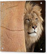 Lion Emerging    Captive Acrylic Print
