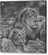 Lion Family Acrylic Print
