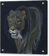 Lion Female Acrylic Print