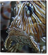 Lion Fish Profile Acrylic Print