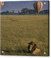 Lion Ignores Balloons Acrylic Print