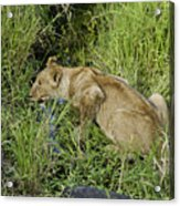 Lion In A Cool Glade Acrylic Print
