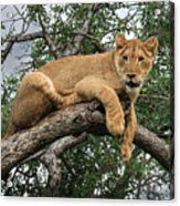 Lion In A Tree Acrylic Print
