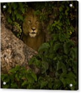 Lion In A Tree-signed Acrylic Print