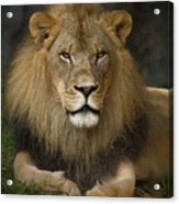 Lion In Repose Acrylic Print by Warren Sarle