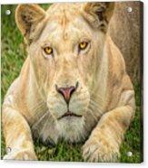 Lion Nature Wear Acrylic Print