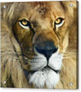 Lion Of Judah II Acrylic Print