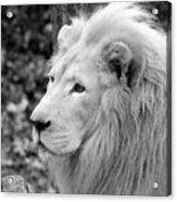 Lion Oh My Acrylic Print