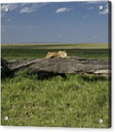 Lion on a Log Acrylic Print