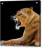 Lion On Black Acrylic Print