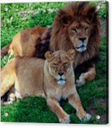 Lion Pair Acrylic Print