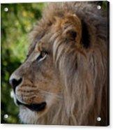 Lion Portrait Of A Leader Acrylic Print