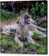 Lion Roar/2 Acrylic Print