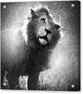 Lion Shaking Off Water Acrylic Print