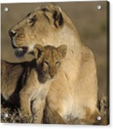 Lioness And Her Cub  Acrylic Print