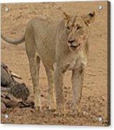 Lioness At The Kill Acrylic Print