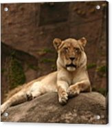 Lioness Acrylic Print by B Rossitto