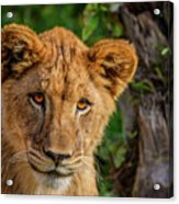 Lioness Cub Acrylic Print