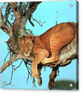 Lioness In Africa Acrylic Print