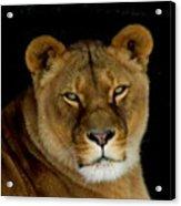 Lioness. No.2 Acrylic Print