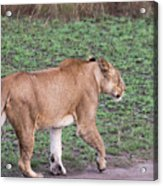 Lioness On Dirt Road Queen Elizabeth National Park, Uganda Acrylic Print