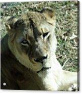 Lioness Peering Acrylic Print