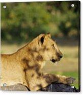 Lioness Pose Acrylic Print