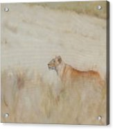 Lioness - Scent Ahead Acrylic Print