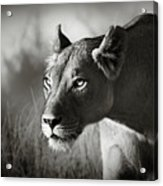 Lioness Stalking Acrylic Print