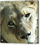 Lioness Up Close Acrylic Print