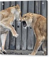 Lioness's Playing 1 Acrylic Print