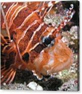 Lionfish Closeup Acrylic Print by Gary Hughes