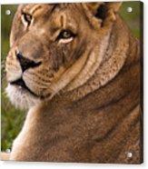 Lions Beauty Acrylic Print