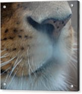 Lion's Breath Acrylic Print