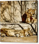 Lions Den Acrylic Print