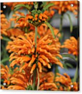 Lion's Ear Acrylic Print
