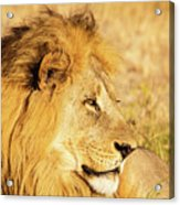 Lions Head Acrylic Print