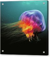 Lions Mane Cyanea Capillata Jellyfish Acrylic Print