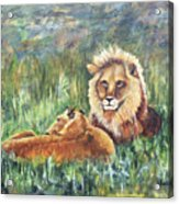 Lions Resting Acrylic Print