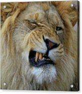 Lions Wink Acrylic Print